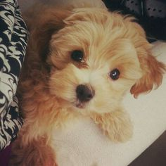 #maltipoo #dogs #cute... oh my goodness baby puppy boy!