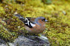 Luister naar de Vink op vogelgeluid.nl, dit is een uitgebreide verzameling van Nederlandse vogelgeluiden. Werkt ook op jouw mobiele telefoon!