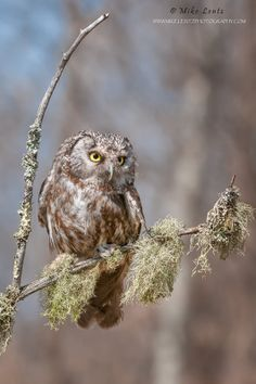Boreal Owl on lichen covered branch by Mike  Lentz on 500px