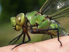dragonfly up close - Google Search