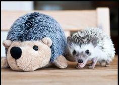 3 month old baby hedgehog.....aww!