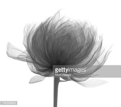 Stock Photo : X-ray of peony head from side. Paeonia. Paeoniaceae. Nick Veasey