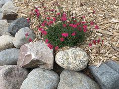 Red dianthus in rock garden Leaves, Garden, Red, Garten, Lawn And Garden, Gardens, Gardening, Outdoor, Yard