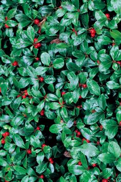 Wintergreen makes a lovely, low ground cover for a shady garden of native plants. Learn more.  Berries are edible and plant is used medicinally