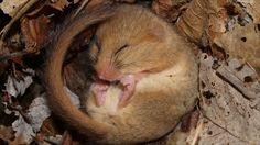 hazel dormouse - adorable!!