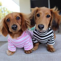 Pablo & Co. An Australian owned dog boutique selling quirky clothing and accessories for your furry friends. Funny Dachshund, Mini Dachshund, Dachshund Puppies, Weenie Dogs, Cute Puppies, Dachshunds, Really Cute Dogs, I Love Dogs, Silly Dogs