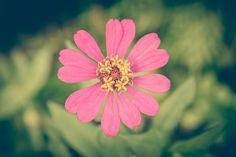 Zinnia, Vintage, Flower, Background