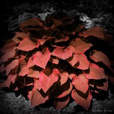 Red Hostas | Red Hosta | Flickr - Photo Sharing!