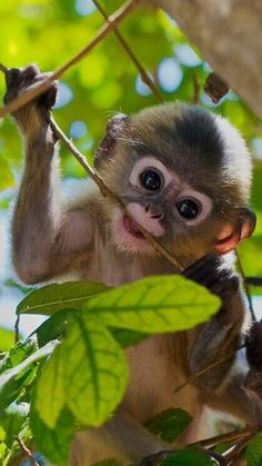 Ideas for baby animals monkey pictures Funny Monkey Pictures, Cute Animal Pictures, Amazing Pictures, Cute Baby Animals, Animals And Pets, Funny Animals, Monkeys Animals, Strange Animals, Funny Monkeys