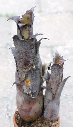 Hohenbergia magnispina