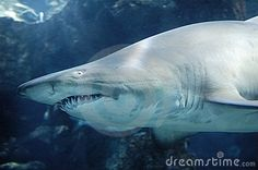 Photo about Sand tiger shark (grey nurse shark) in shallow blue water. Image of queensland, melanopterus, reef - 2428058 Nurse Shark, Shallow, Royalty Free Stock Photos, Grey, Water, Blue, Image, Heart, Gray