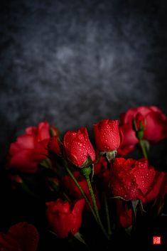 Rose Flower Wallpaper, Flower Background Wallpaper, Flower Backgrounds, Beautiful Flowers Wallpapers, Beautiful Rose Flowers, Red Flowers, Love Rose Flower, Aesthetic Roses, Rose Images
