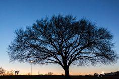 Large Tree at Zilker Park