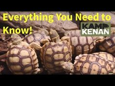 Learn the best tips for taking care of your Sulcata Tortoise. Kenan Harkin goes over the best options for anyone who owns a Sulcata or is new to the tortoise. Tortoise As Pets, Red Footed Tortoise, Tortoise House, Tortoise Food, Tortoise Habitat, Sulcata Tortoise, Tortoise Care, Giant Tortoise, Baby Tortoise