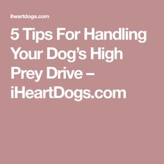 5 Tips For Handling Your Dog's High Prey Drive – iHeartDogs.com