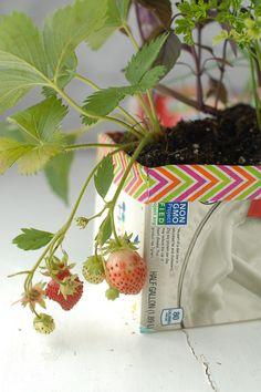 Milk Carton Herb Gardens - Strawberries - BoulderLocavore.com