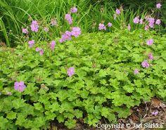 Peittokurjenpolvi, Geranium x cantabrigiense 'Cambridge'