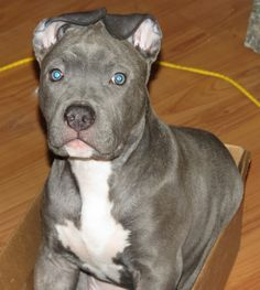 Baby pittie in a Box.  Sooo cute!  Pitbull.  Blue Brindle.  Blue Nose.  11 Weeks.  Knight Sabre the #Thunderfoot.  Mom - APBT Razor's Edge.  Dad - Ruffian and Watchdog AmStaff.