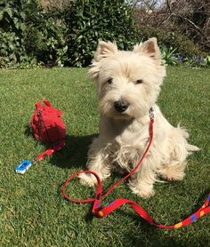 Lovely Scotty  in his new outfit (collar leash treat bag and clicker/key holder) #davirdogdesign #dogcollar #dogcollars #dogleash #dogleashes #dogtreatbag #keyholder #keyholders #clicker #westie #westhighlandwhiteterrier #instadog #doglover #ilovemydog #dogofinstagram #dog #pet by davirdogdesign