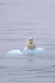 polar bear and baby on ice