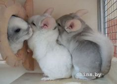 OMG this is so cute. It's a chinchilla cuddle train waiting to get into the tunnel. :) Source by htt Animals And Pets, Baby Animals, Funny Animals, Hammock Diy, Chinchilla Cute, Chia Pet, Super Cute Animals, Cute Creatures, Exotic Pets