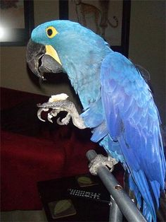 Home raised and hand-fed Hyacinth Macaw Pair available now. We have well tamed, home raised and hand-fed Hyacinth Macaw Pair available now. DNA'd male, female for a good family. Excellent feathers and Hyacinth Macaw For Sale, Macaw Parrot For Sale, Pets For Sale, Birds, Parrots, Feathers, Dubai, Animals, Female