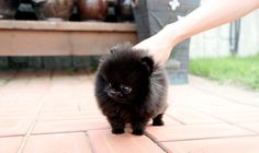 Micro teacup pomeranian.  I will adopt one of these little friends.