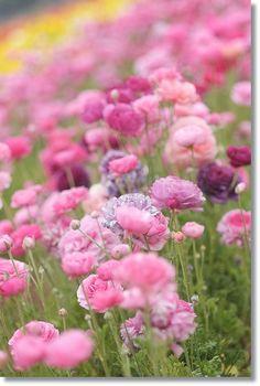 Field of buttercups // Fields of Ranunculus | Swedish Flower Blogs: Field of buttercups // Fields of Ranunculus
