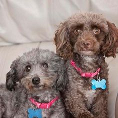 Meet Miss Bunny Wigglesworth and Lissa, a Petfinder adoptable Poodle Dog | Orlando, FL | Miss Bunny Wigglesworth (or Bunny for short) and Lissa are a bonded Poodle pair.  Bunny has that...