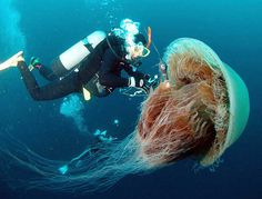 Japanese jellyfish...You've got to be kidding me...  These things are filling the fishing waters off Japan and are becoming a frightening nuisance.