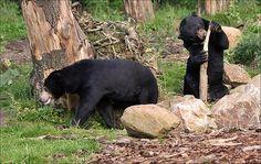 Busy Sun Bears