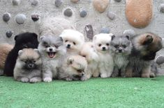 Oh my goodness look at these adorable #pomeranian puppiesI want them all!!! please!!! Cute Puppies, Cute Dogs, Baby Animals, Cute Animals, Save A Dog, Pomeranian Puppy, Teacup Pomeranian, Lap Dogs, Blue Merle