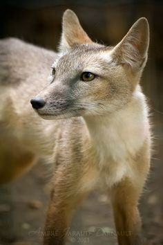 Vulpes corsac - Corsac Fox - The corsac fox, or steppe fox, is an asiatic medium-sized carnivore. It lives in steppes and semi-deserts of Asia (Mongolia, Afghanistan, nothern Manchuria...). It is a long legged, reddish gray fox with large ears and a short pointy face. Compared to other foxes, it has small teeth.