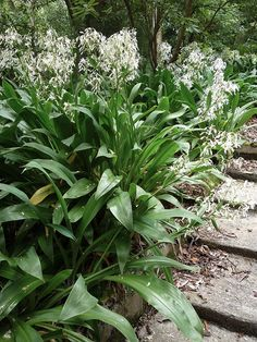 Best in shade or part shade to avoid getting sun scorched leaves. Delicate flowers make great picking. Garden Ideas Nz, Garden Inspiration, Shade Garden, Garden Plants, Garden Art, Bulbous Plants, Home Landscaping, Landscaping Design, Farmhouse Landscaping