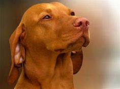 Posts related to Beautiful Gentle Dog Breed Breed Hungarian Vizsla