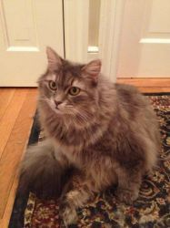 Lily is an adoptable Maine Coon Cat in Dover, NH. Lily should be featured in a calendar or similar publication - she is simply gorgeous!  She is a five year old, spayed, long-haired grey tiger. She's ...