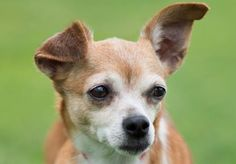 Petango.com – Meet Amber, a 9 years 3 months Chihuahua, Short Coat available for adoption in COLORADO SPRINGS, CO