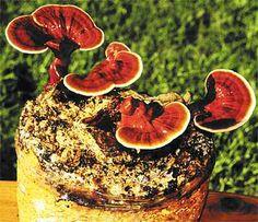 'Mushrooms of Immortality': Reishi Mushrooms an Ancient Medicine for Modern Diseases