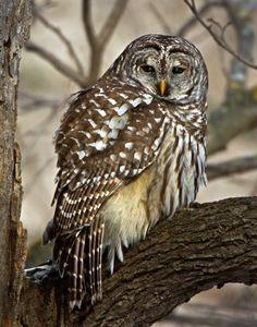 Winter Owl - Barred