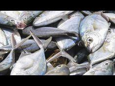 Documental emitido en Documentos TV de la 2, sobre la laxitud de los gobiernos europeos ante la inseguridad alimentaria del pescado, sobre todo del procedent...