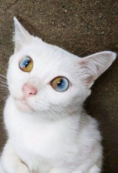 Celebrities With Different Colored Eyes - This is pam pam the kitten with heterochromia with hypnotic eyes you just cant stop looking at