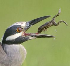 It's not easy being green - Image: A yellow-crowned night heron catches a frog (© Nate Chappell/Rex Features)