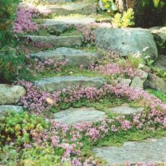 Thymus serphyllum, commonly known as wild thyme and is available as seed from Kings Seeds. Tried growing these in pots ready to plant out but found that sprinkling the seed around the pavers worked the best. Again thyme is great for full sun and enjoys free-draining soil and will tolerate poorer soils too.