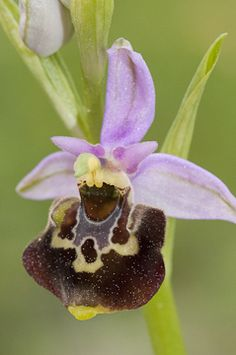 Ophrys holoserica [Bee-orchid] -Limodorum abortivum - Photo from: The flower of the European orchid - Form and function: by Jean Claessens & Jacques Kleynen
