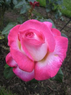 California Dreaming:  Hybrid Tea Rose