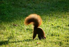 Eichhörnchen vergräbt eine Nuss als Wintervorrat - Jahreszeiten - Galerie - Community