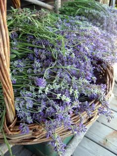When to harvest your lavender
