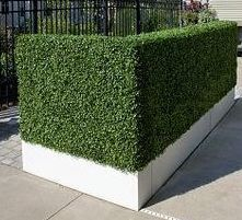 Faux Hedge