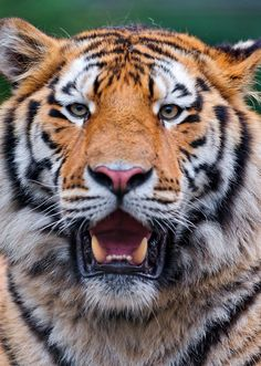 ©Portrait of a big and friendly Amur tiger | Flickr - Photo Sharing! #tiger ❤️