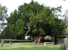 Yew / Taxus baccata is a hardy evergreen, native to Europe, that can grow into a majestic tree up to 50ft. tall, with a huge, dense canopy, but...